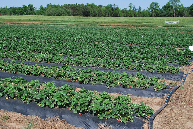 strawberry fields at Southern Belle Farms