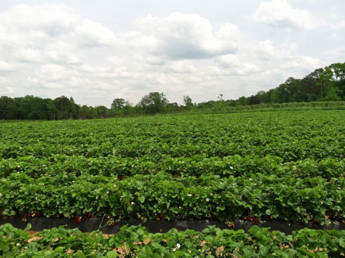 strawberry fields at Southern Belle Farm in Georgia