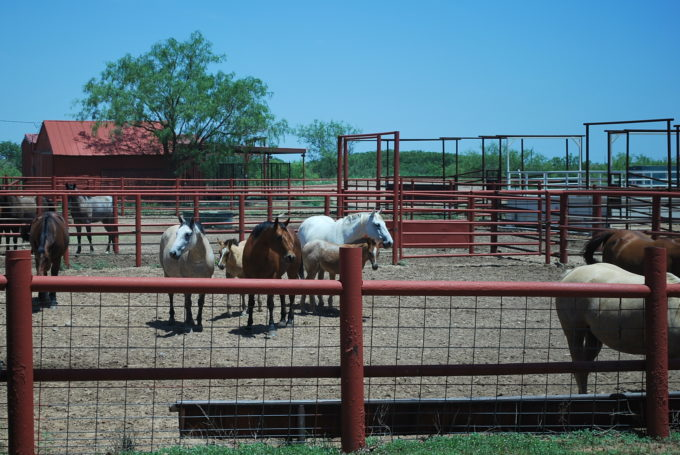 horses on a beef ranch in Texas