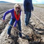 digging taters