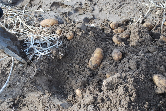 potatoes in ground