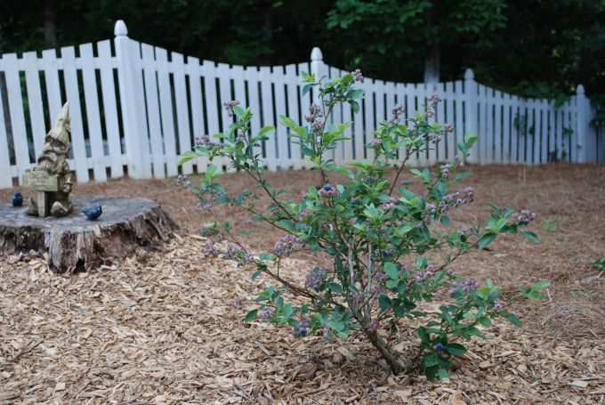 Blueberry bush with a white fence in the background