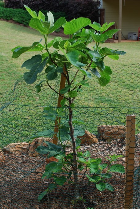 Caged fig tree