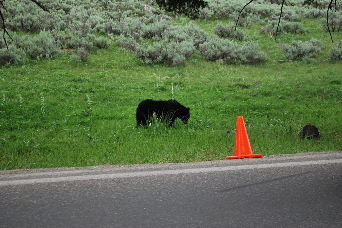 Black bear in Yellowstone
