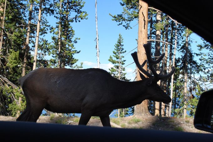 Bull elk at Yellowstone Lake